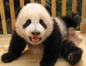 chengdu panda breeding funny
