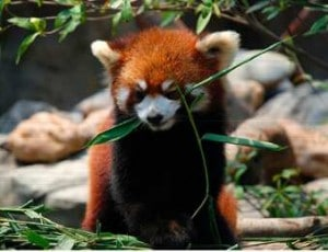 A red panda eating leaves