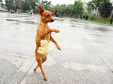 A Chinese dog that walks on its hind legs