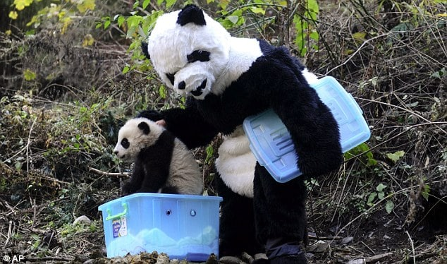 China worker wears a panda suit to help with the pandas in Chengdu.